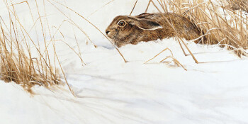 Haas in de sneeuw